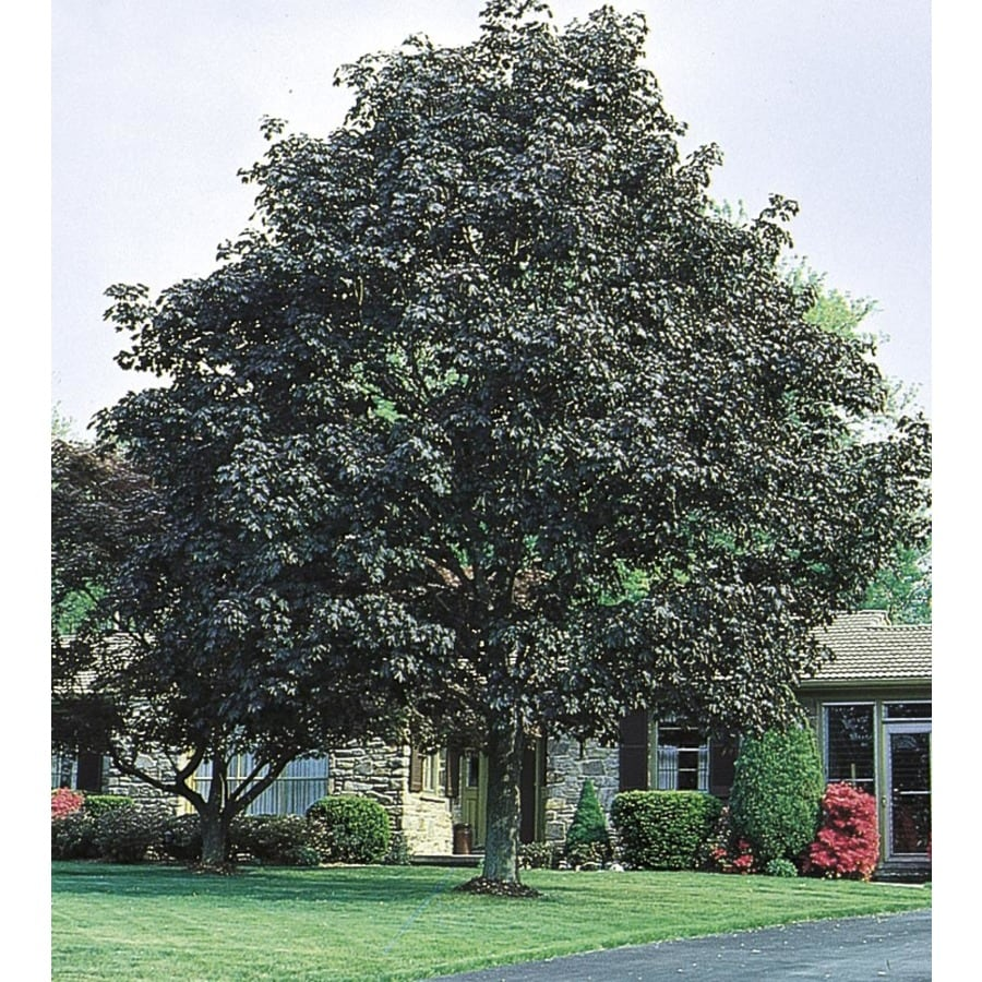 8.99-Gallon Crimson King Norway Maple Shade Tree (L3166)