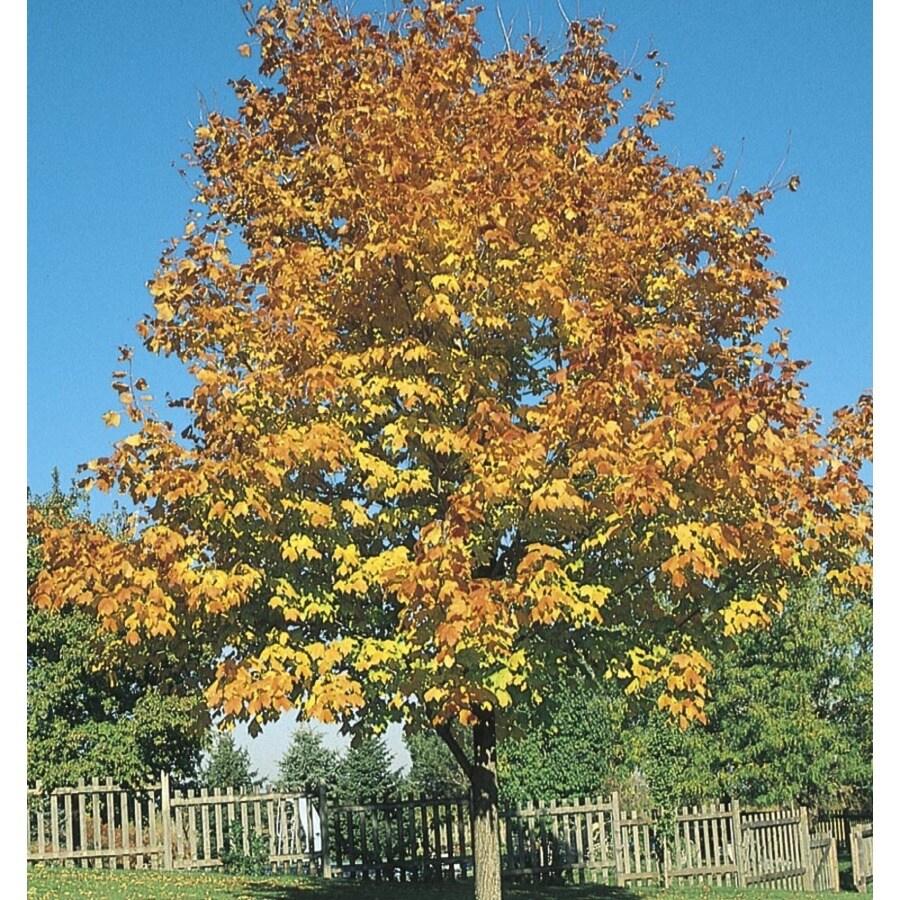 8.99-Gallon Green Mountain Sugar Maple Shade Tree (L1155)