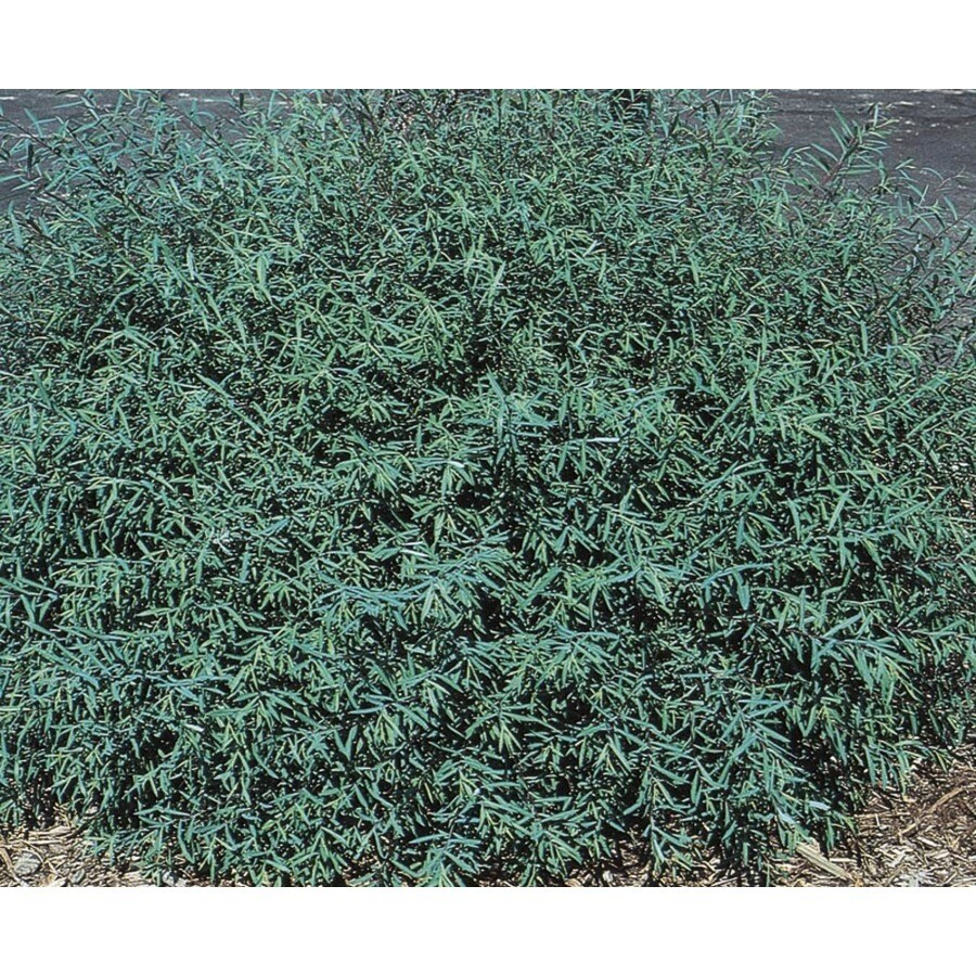 8.9-Gallon Dwarf Purple Osier Willow Accent Shrub (L4239)