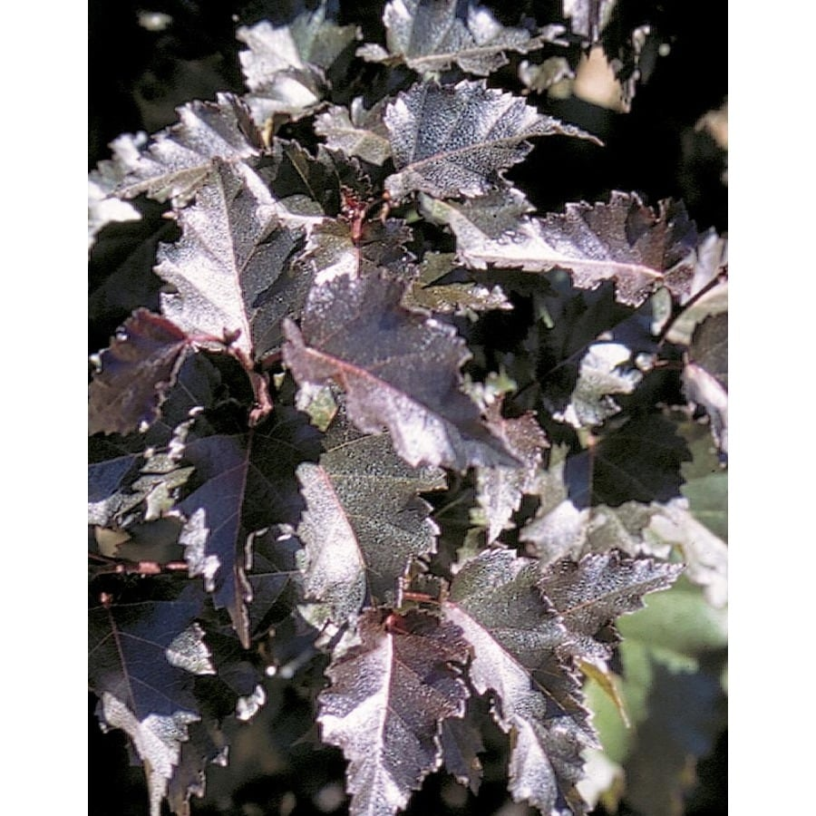 8.9-Gallon Royal Frost Birch Feature Tree (L24036)
