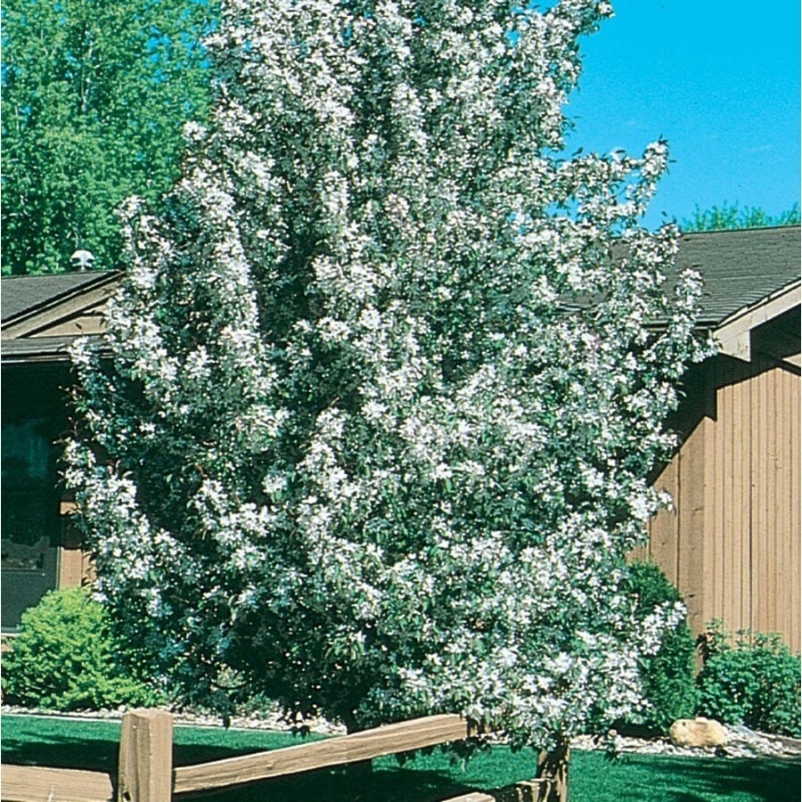 8.99-Gallon Sugar Tyme Crabapple Flowering Tree (L5195)