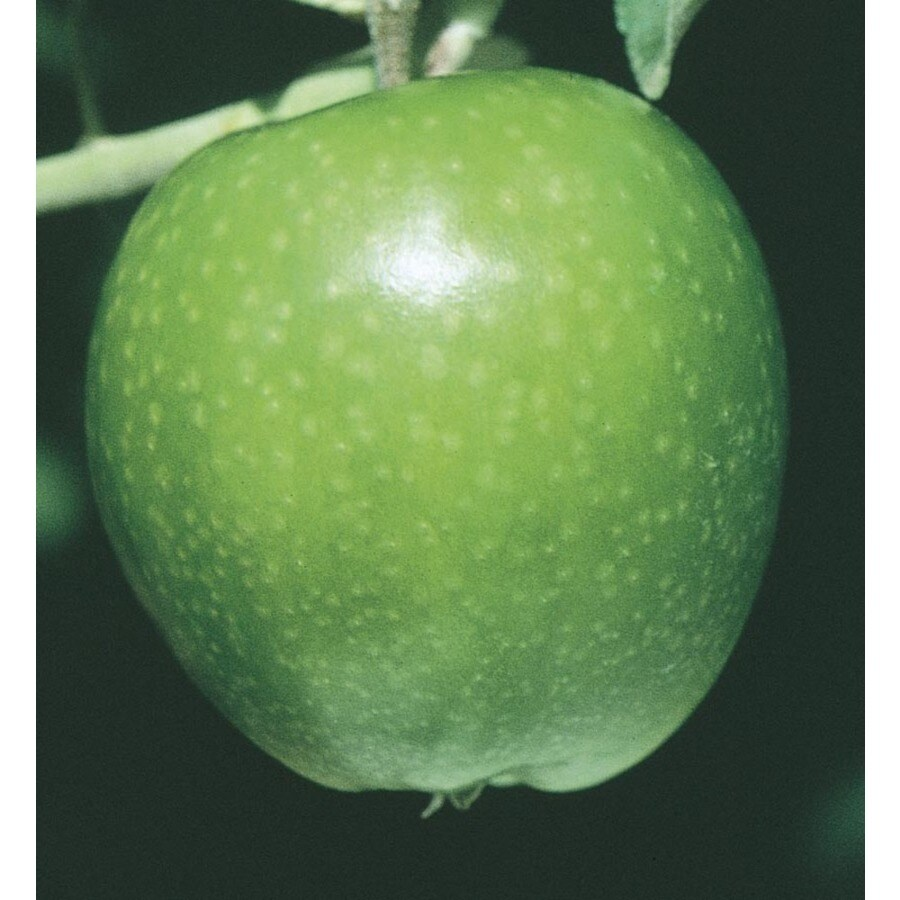 3.84-Gallon Granny Smith Apple Tree (L3198)