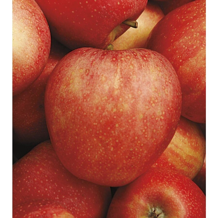 3-Gallon Honeycrisp Apple Tree (L11893)