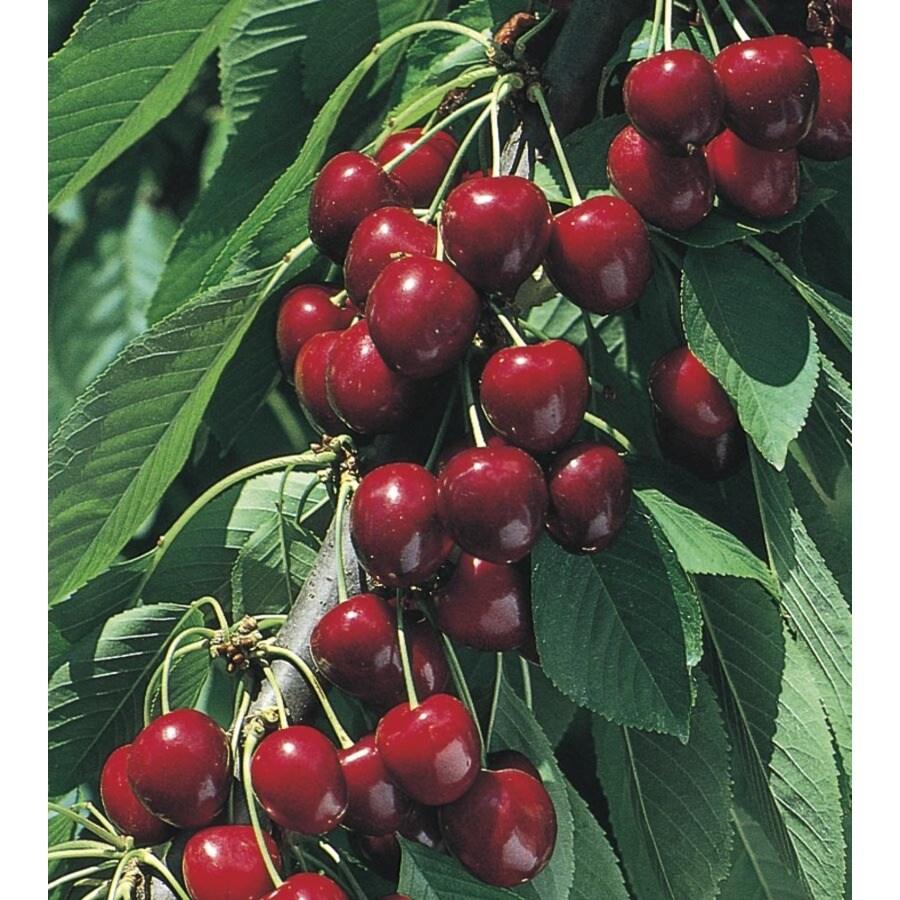 3.84-Gallon North Star Cherry Tree (L4546)