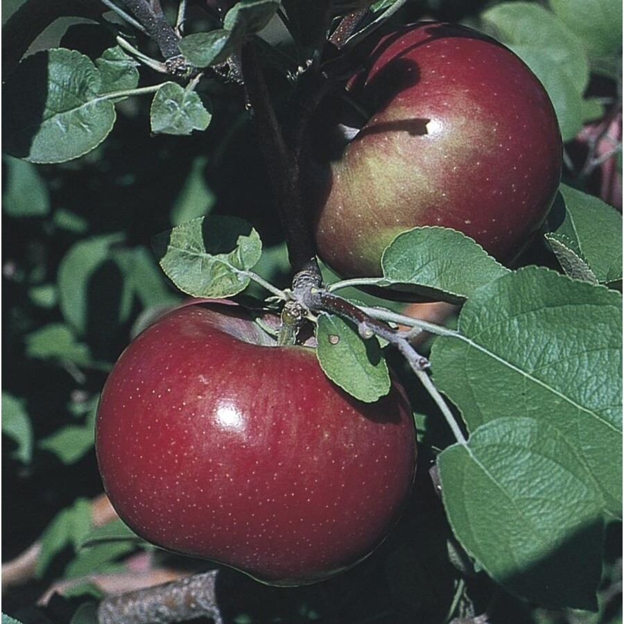 3.8-Gallon Haralson Apple Tree (L4221)