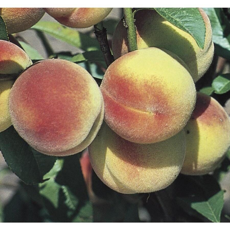 3.84-Gallon Hale Haven Peach Tree (L3225)