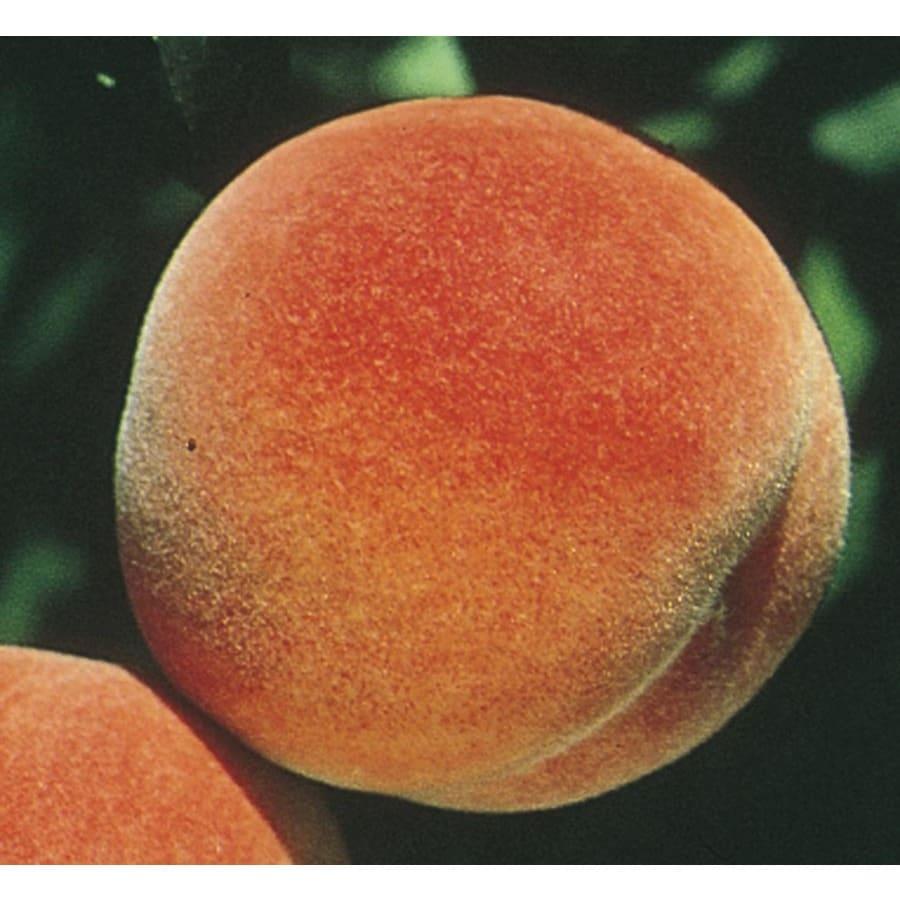 3.84-Gallon Red Haven Peach Tree (L1342)