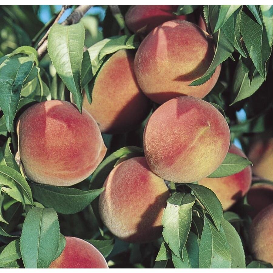 3.84-Gallon Reliance Peach Tree (L4552)