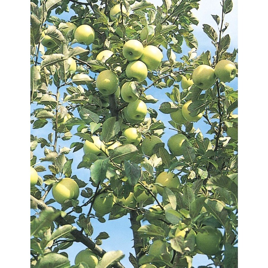 3.8-Gallon Honeygold Apple Tree (L4228)