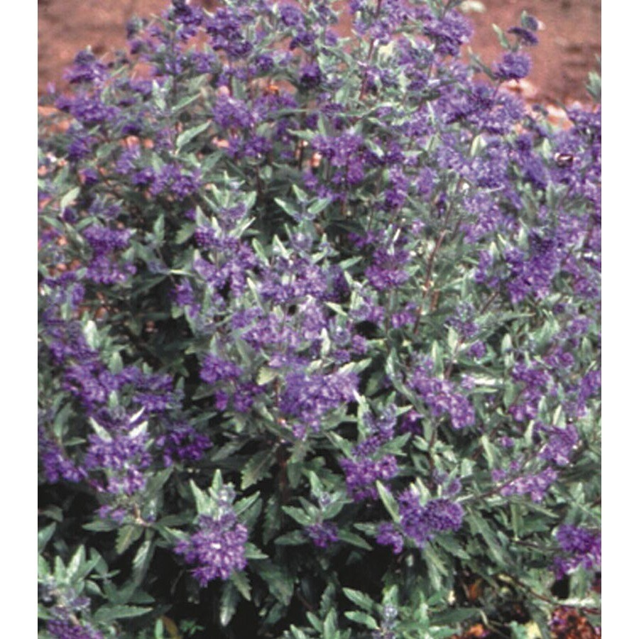 1.6-Gallon Caryopteris (L14469)