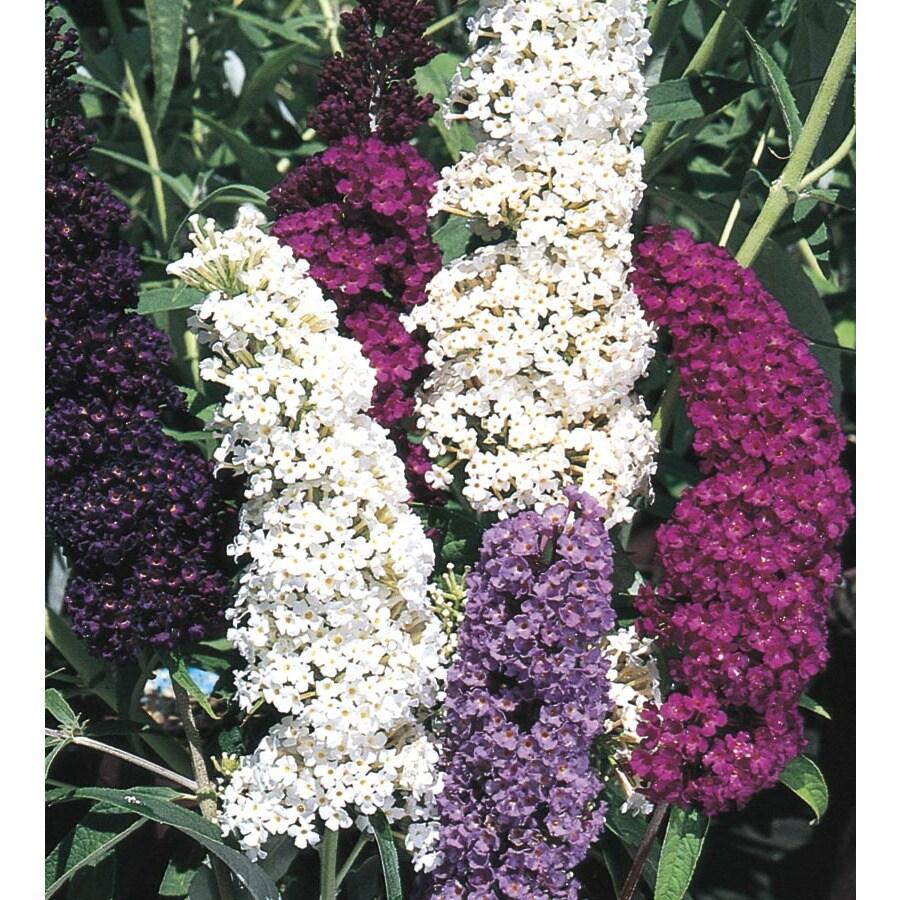 1.6-Gallon Purple Butterfly Bush Flowering Shrub (L8073)