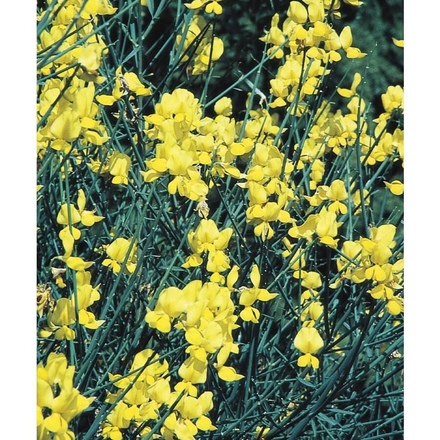 1.6-Gallon Yellow Spanish Broom Flowering Shrub (L5956)