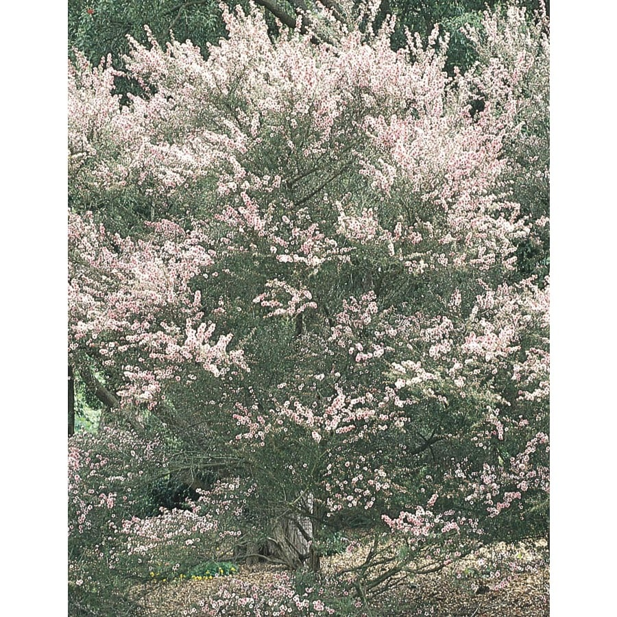1.6-Gallon Tea Tree Flowering Tree (L14380)