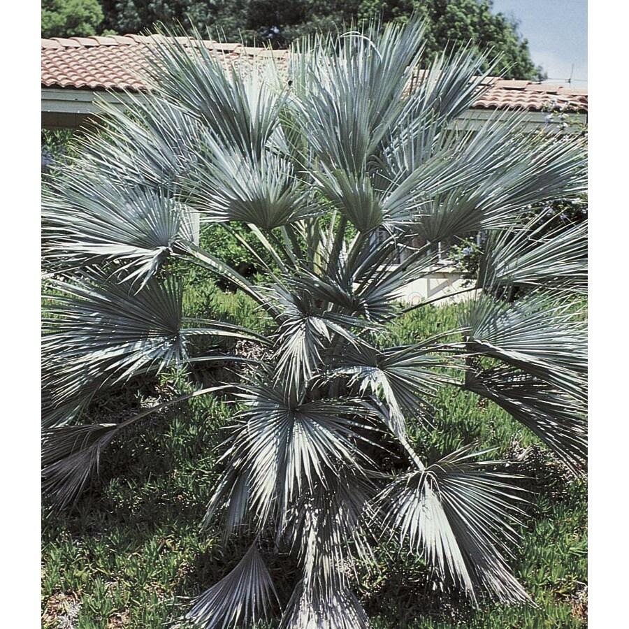 10.25-Gallon Mexican Blue Fan Palm (L25018)