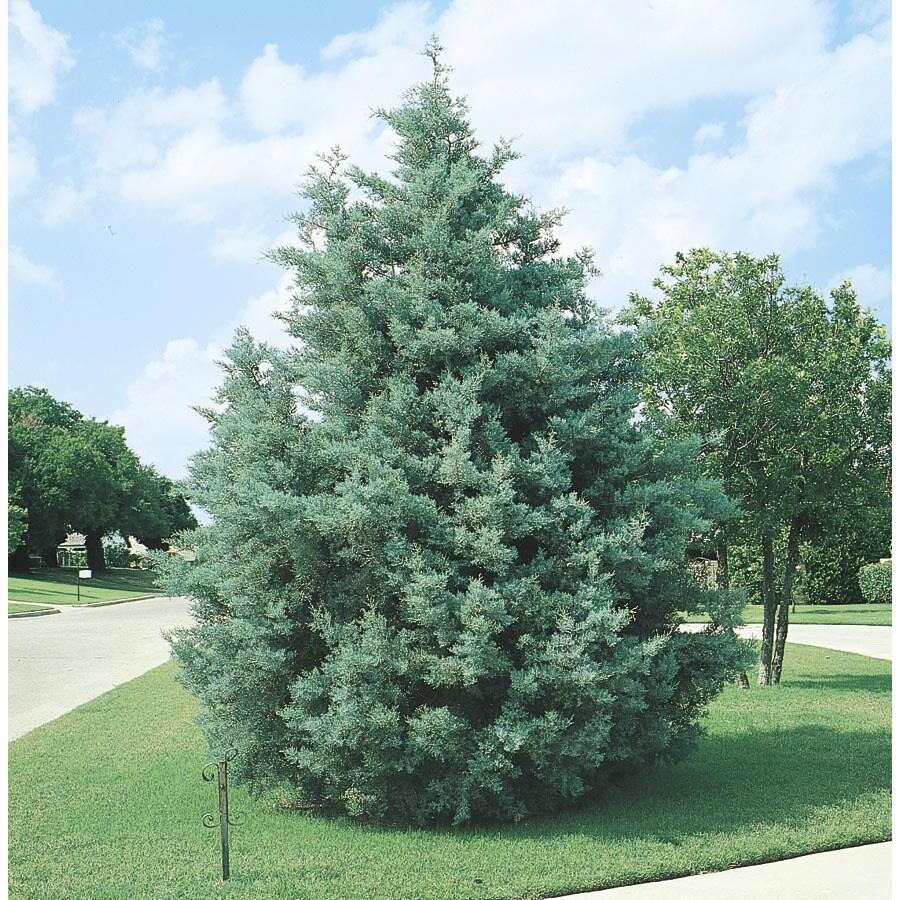 Shop 2.5-Quart Arizona Cypress Screening Tree (L5089) at ...
