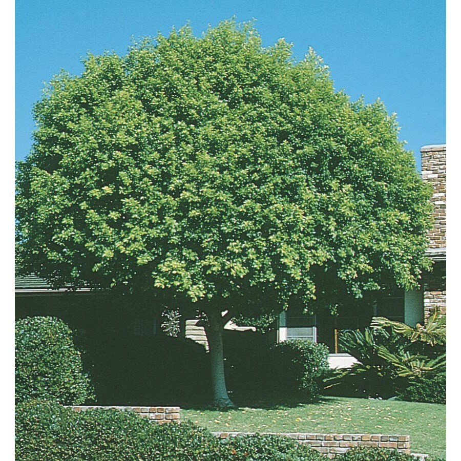 Shop 3 25 Gallon Indian Laurel Tree Feature Tree L14192