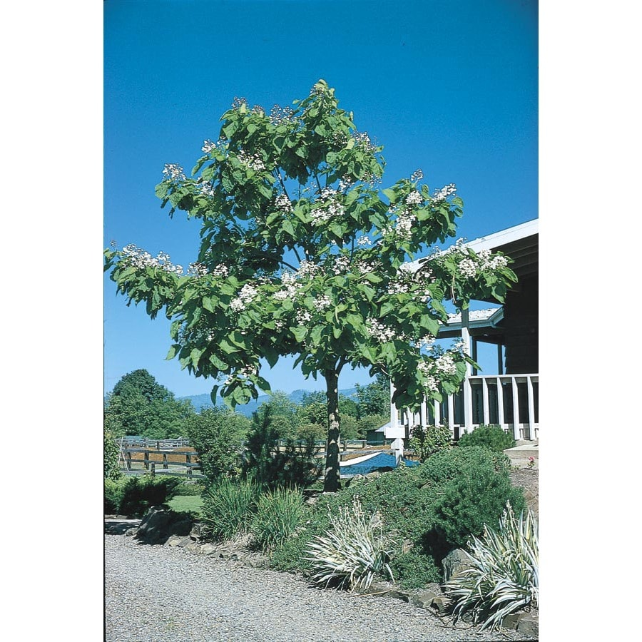 Container Size/Quantity Container/Package Unit Of Measure Western Catalpa Flowering Tree (L7405)