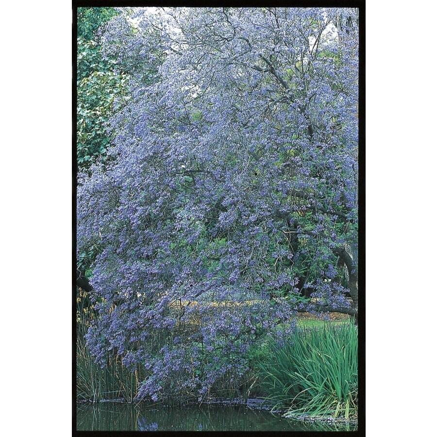 10.25-Gallon Jacaranda Tree Feature Tree (L3971)
