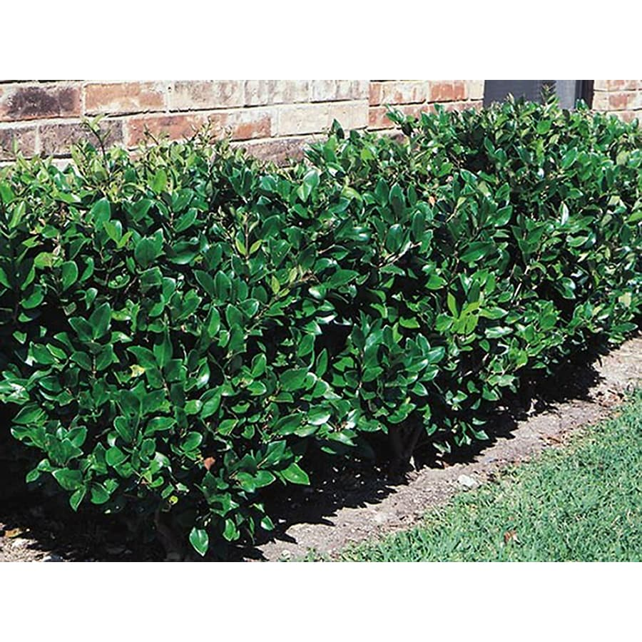 Shop 10 25 Gallon White Waxleaf Ligustrum Foundation Hedge