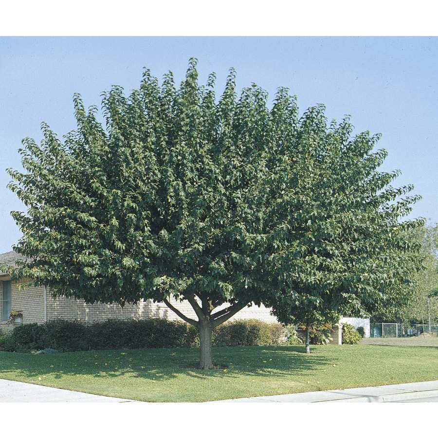 10.25-Gallon Fruitless Mulberry Shade Tree (L3600)