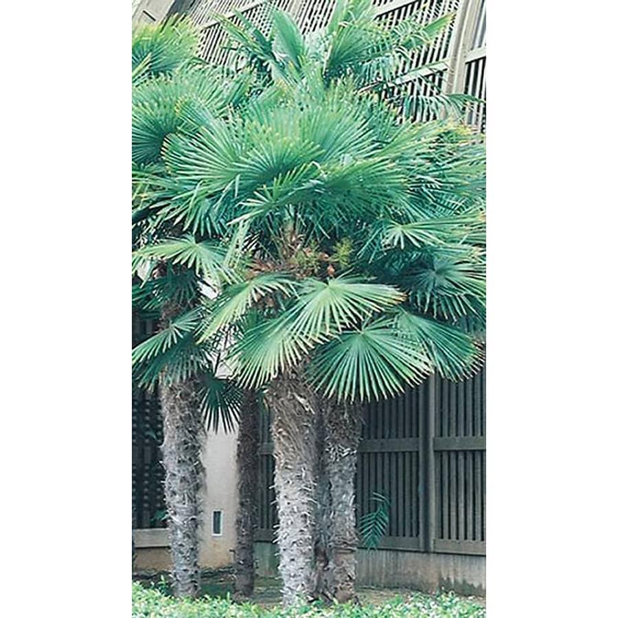10.25-Gallon Chinese Windmill Palm (L8803)