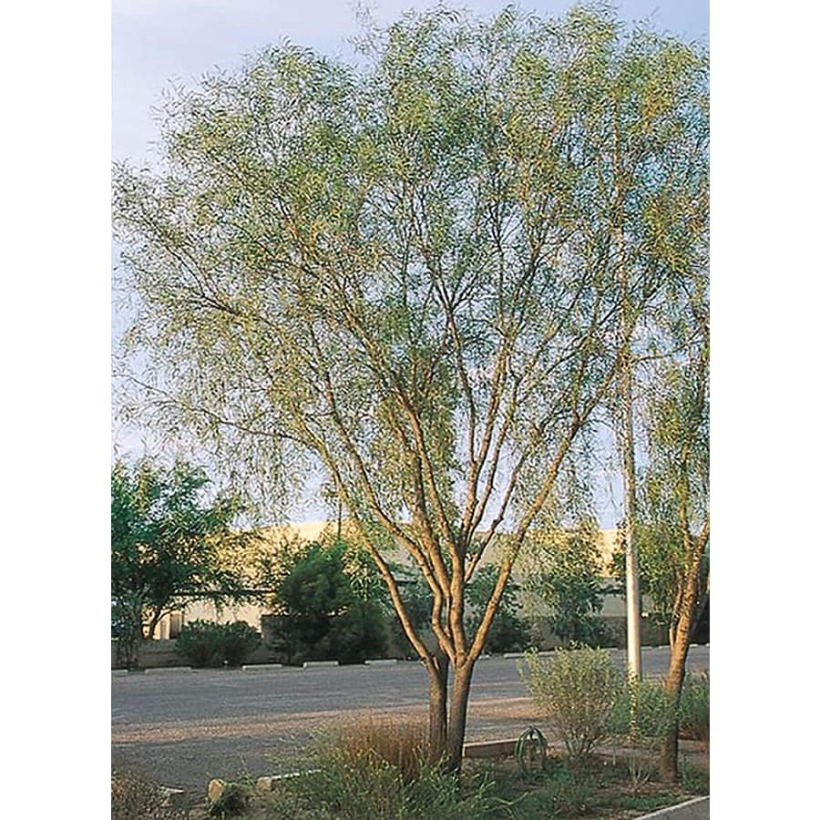 3.25-Gallon Willow Acacia Feature Tree (L7642)