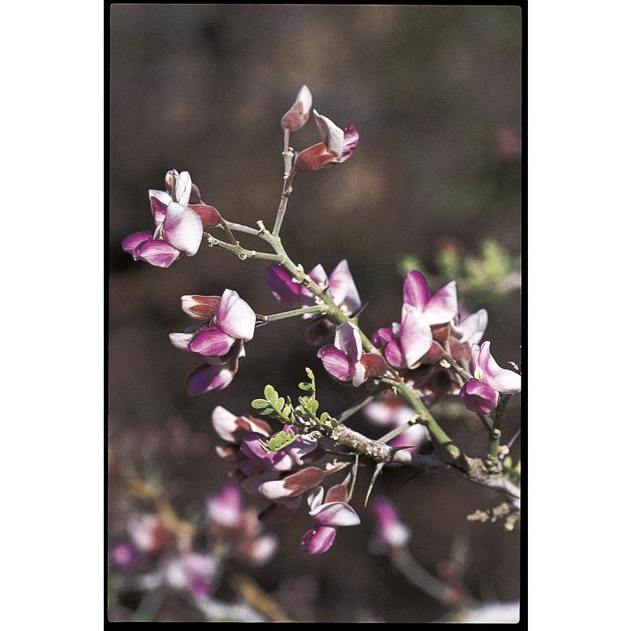 3.25-Gallon Desert Ironwood Flowering Tree (L14922)