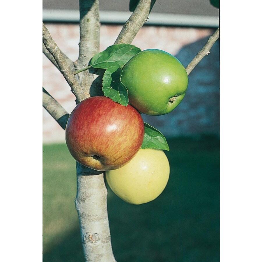 3.25-Gallon 3-n-1 Apple Tree (L7316)
