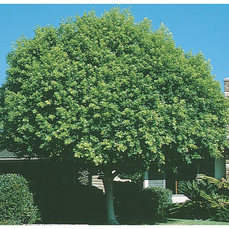 3.43-Gallon Indian Laurel Tree Feature Tree (L14192)