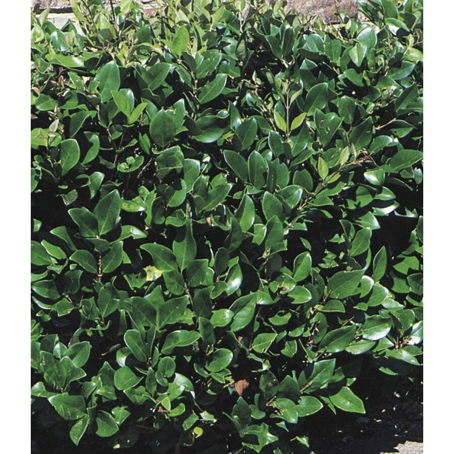 2.92-Quart White Waxleaf Ligustrum Foundation/Hedge Shrub (L3255)