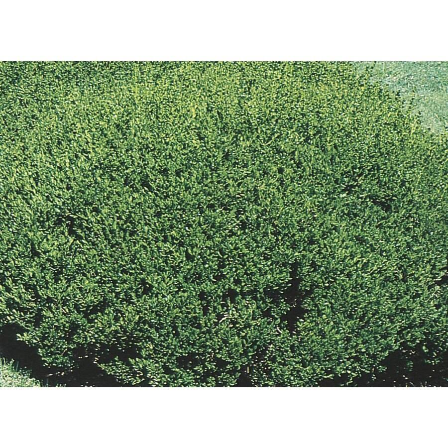 2.92-Quart Green Beauty Boxwood Foundation/Hedge Shrub (L3841)