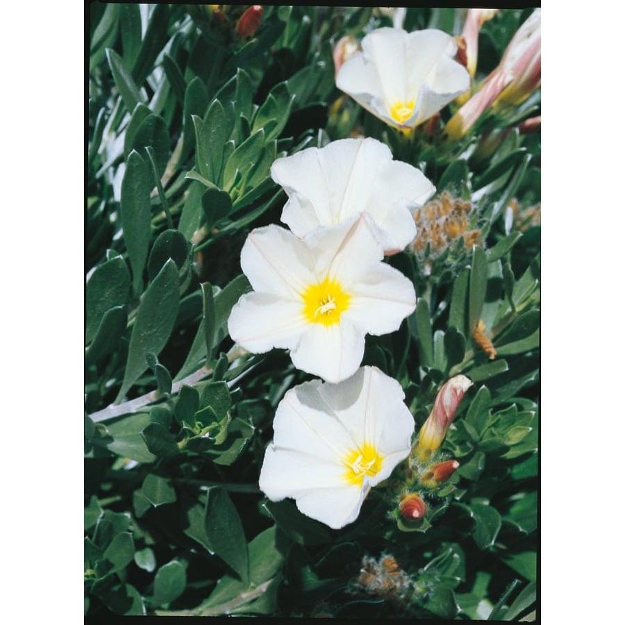 2.92-Quart White Bush Morning Glory Accent Shrub (L4019)