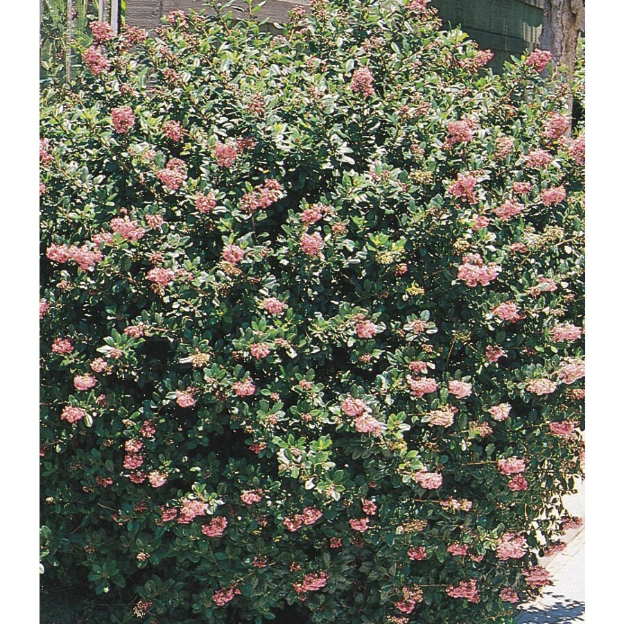 3.43-Gallon Mixed Escallonia Flowering Shrub (L2913)