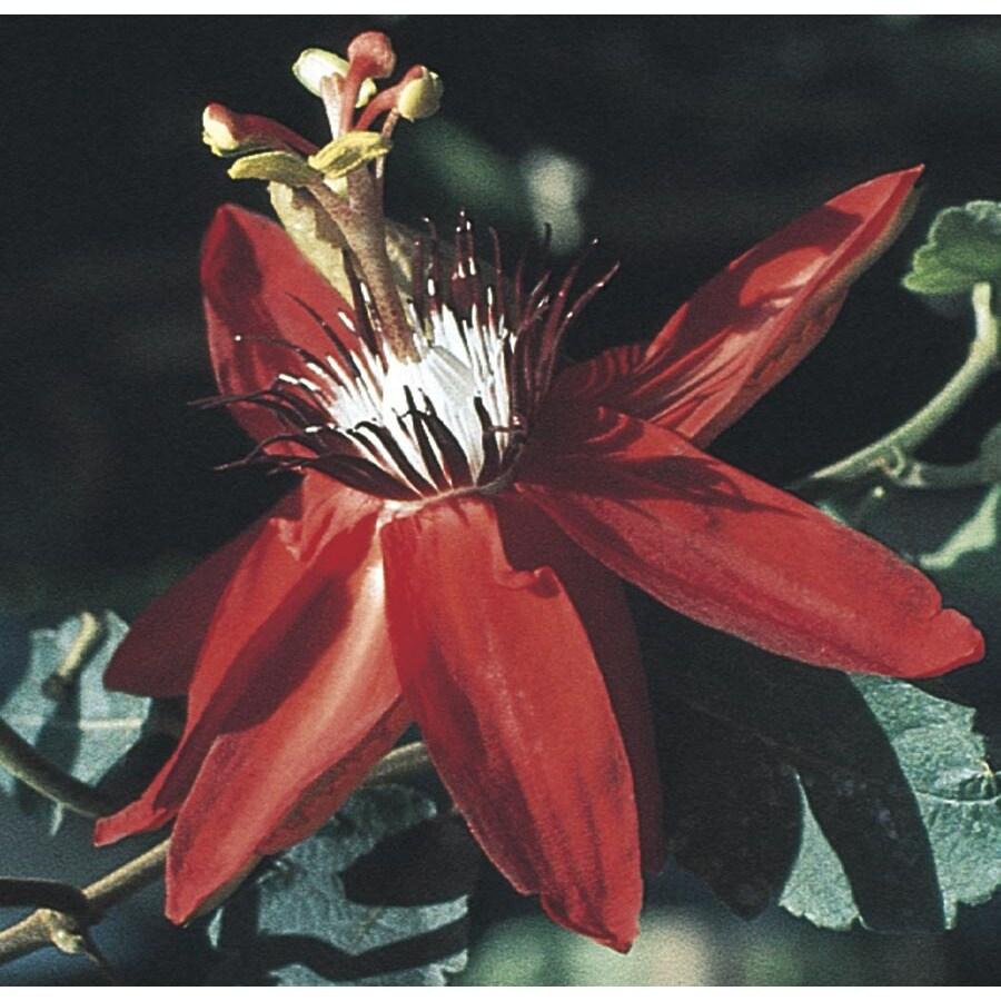 3.43-Gallon Crimson Passion Flower (L4801)