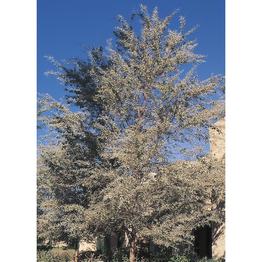 3.43-Gallon Mulga Feature Tree (L14866)