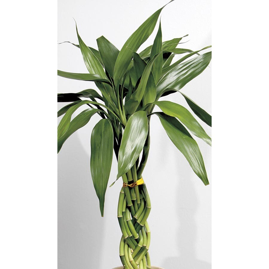 3-Ounce Lucky Bamboo (L20953hp)