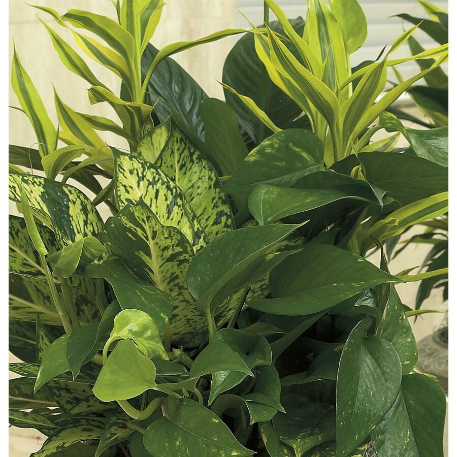 1.25-Quart Foliage Dish Gardens (Mixed) (L20945hp)