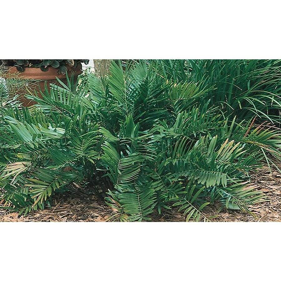 1.25-Quart Coontie Palm (L8722)