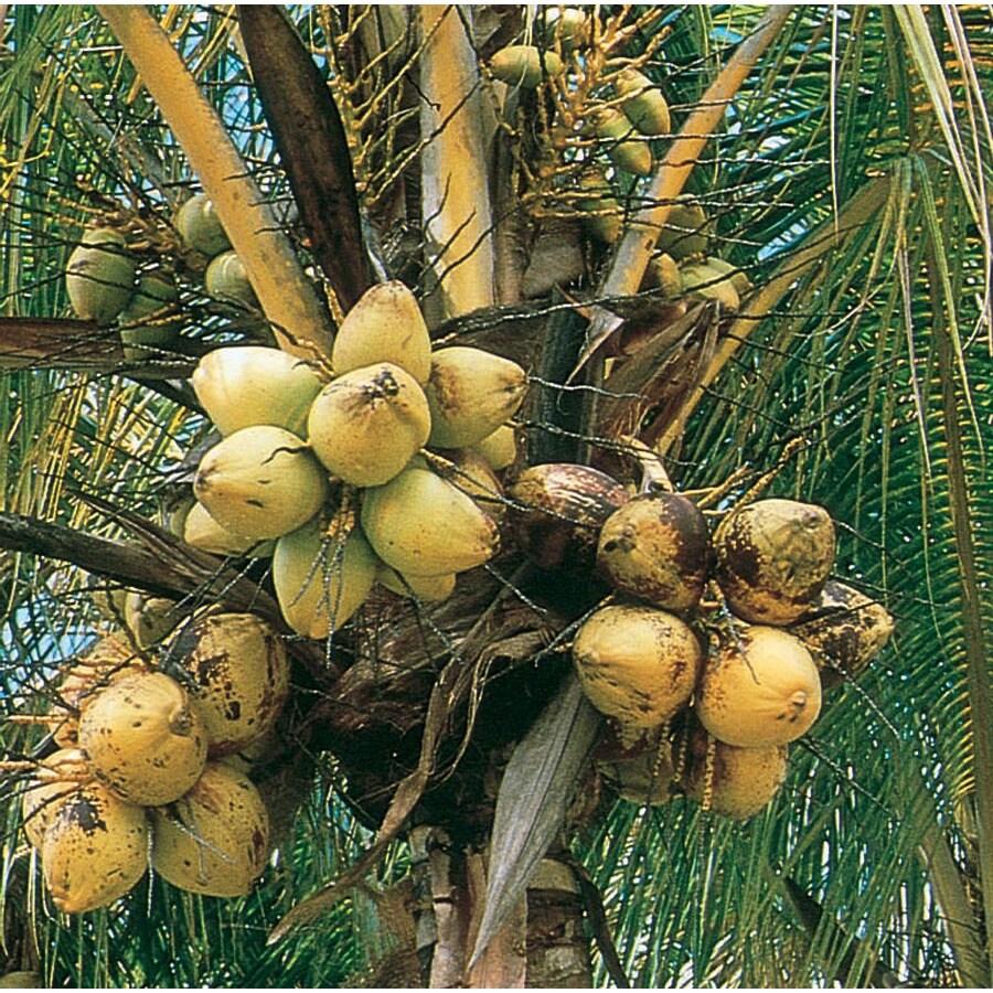 1.95-Gallon Coconut Palm (LTL0012)