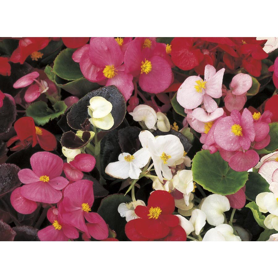 1.25-Gallon Begonia (L6589)