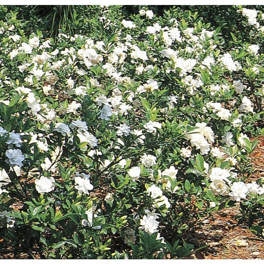 2.58-Gallon White Gardenia Flowering Shrub (L5150)