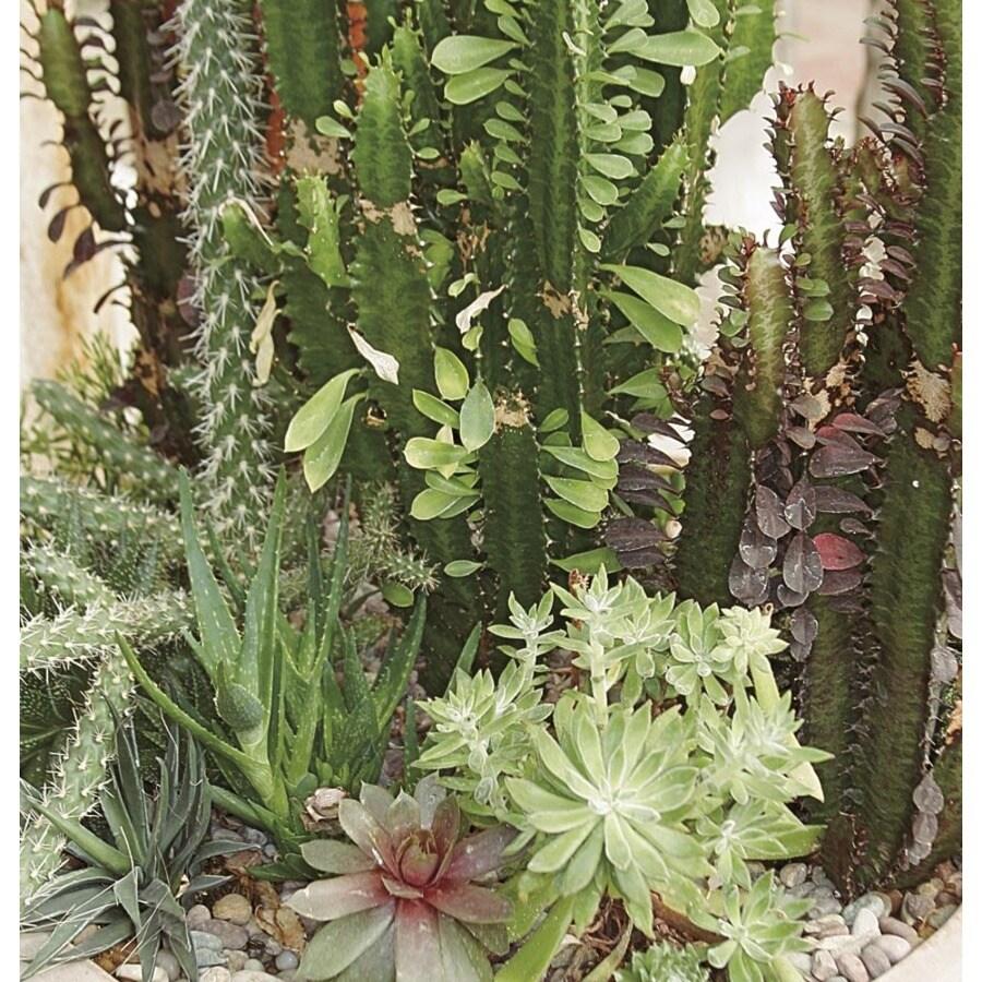 10.3-Gallon Cacti and Succulents (Mixed) (LWALTCS)