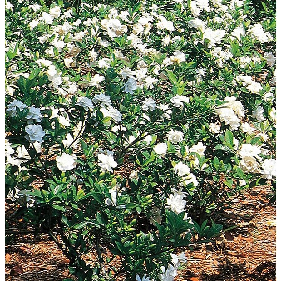 2.5-Gallon White Gardenia Flowering Shrub (L5150)