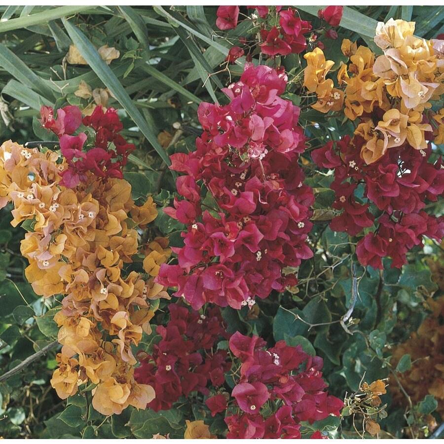 4.45-Gallon Mixed Hybrid Bougainvillea Flowering Shrub (L5710)