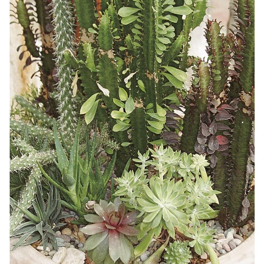 15-oz Cacti and Succulents (Mixed) (LWALTCS)