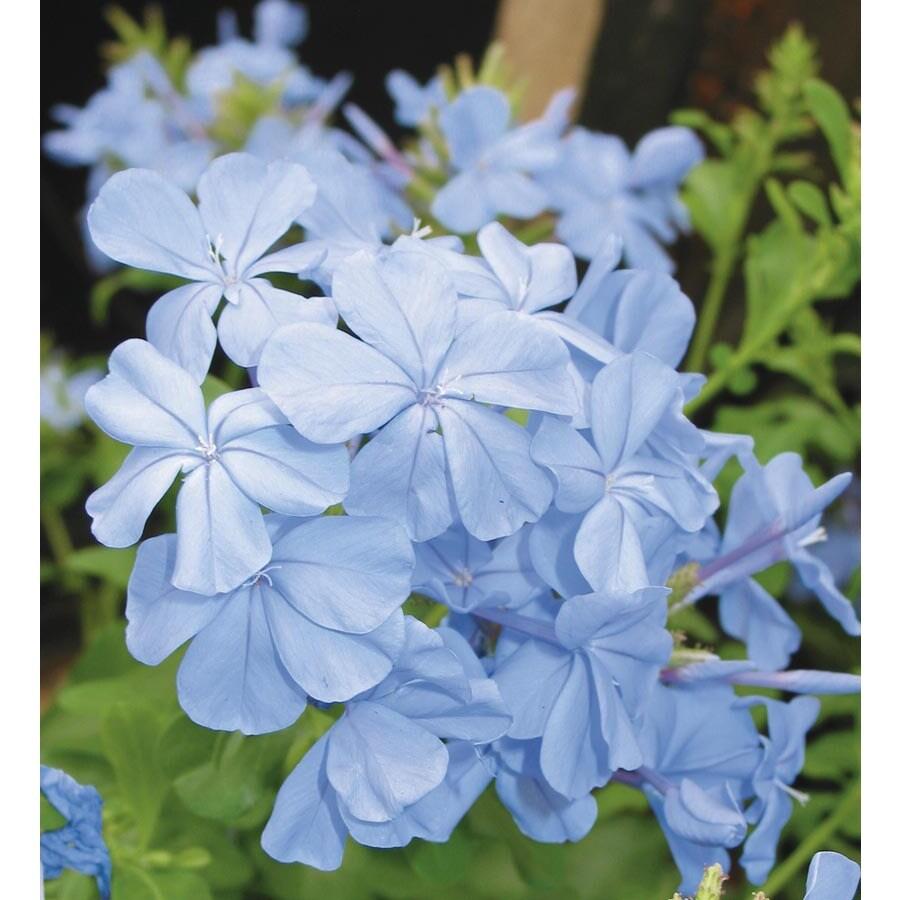 1-Quart Blue Imperial Blue Plumbago Flowering Shrub (L9926)