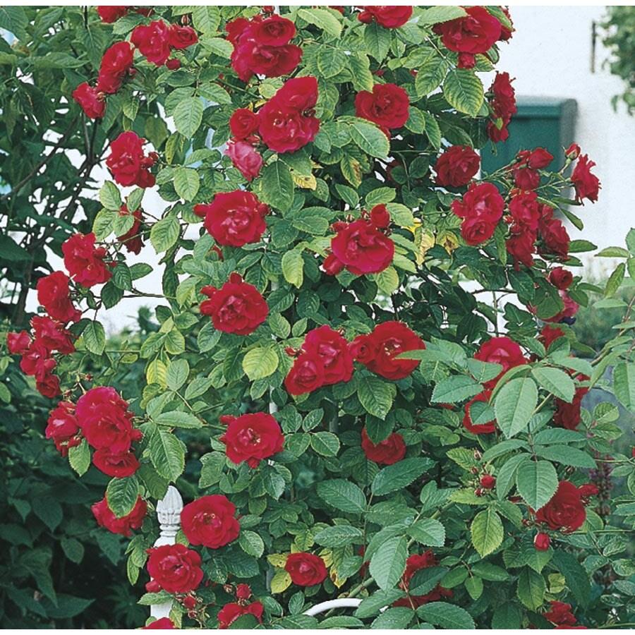3.5-Gallon Climbing Rose (L10152)