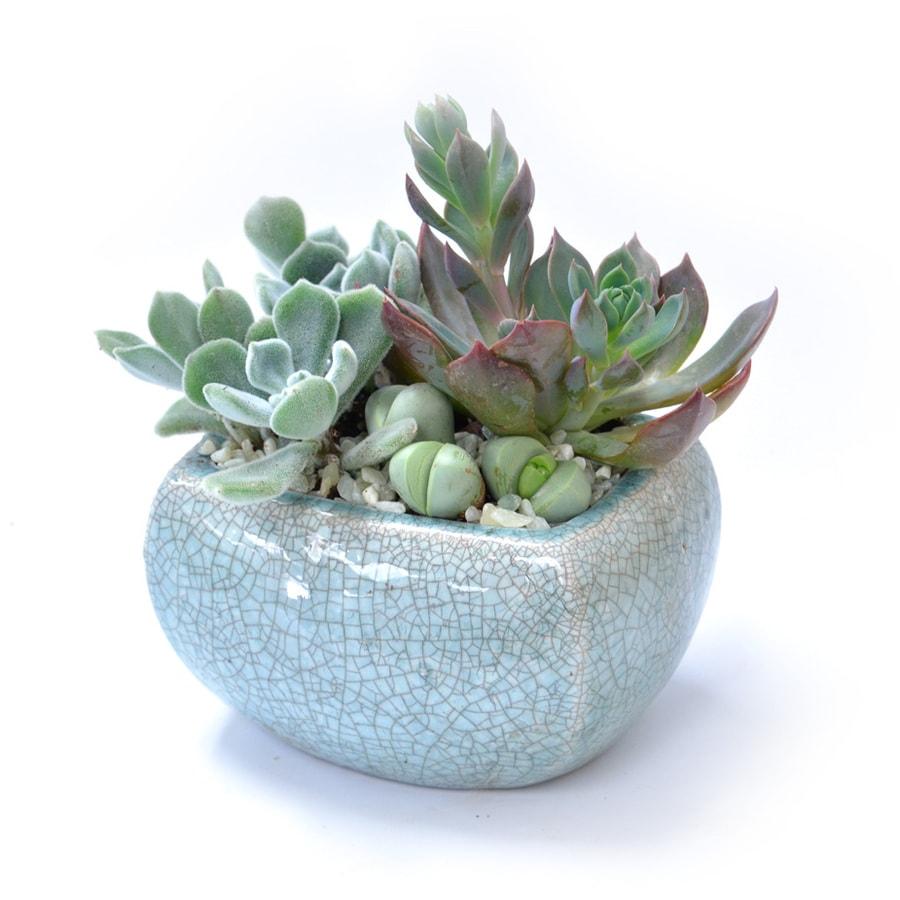 1.7-Pint Mixed Cacti (AL001)