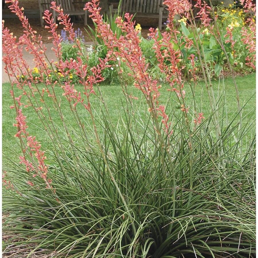 2.5-Quart Red Red Yucca Feature Shrub (L7029)