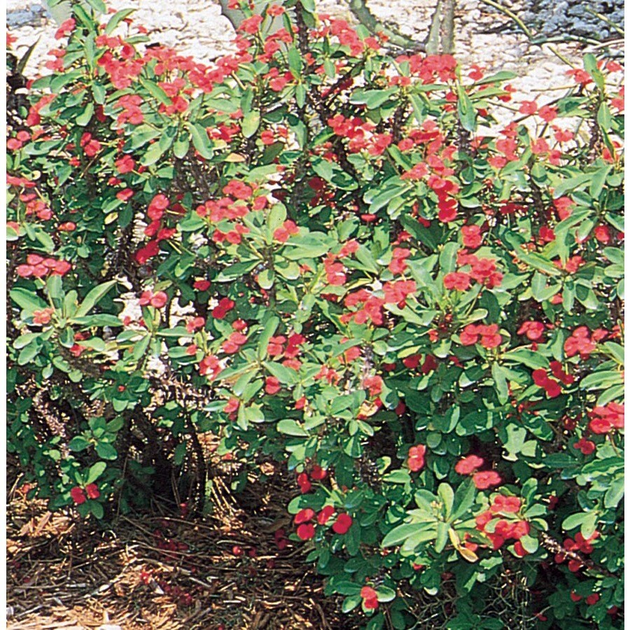 2.5-Gallon Container Crown Of Thorns (L3280)